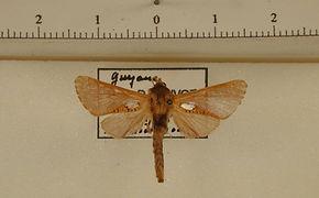 Givira argentipuncta mâle