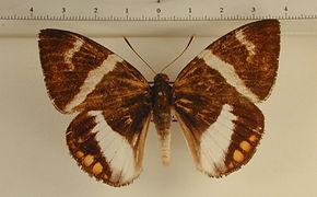 Haemonides licus licus mâle