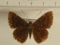 Callistium cleadas mâle