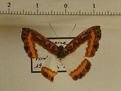 Nymphidium caricae caricae mâle