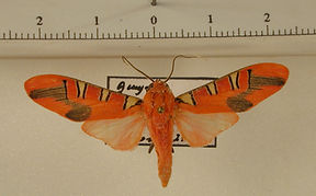 Gorgonidia maronensis mâle
