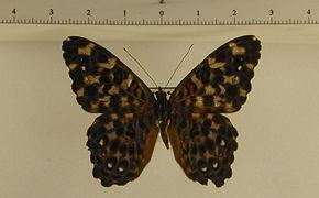 Hamadryas chloe obidona mâle