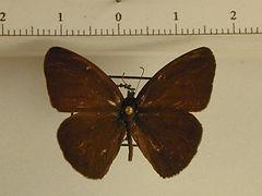 Hermeuptchia hermes mâle