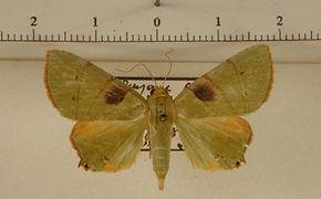 Eulepidotis ilirias mâle