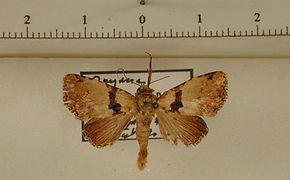 Eudyops polyleuca mâle