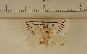 Mesoscia guttifascia mâle