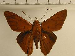 Dyscophellus diaphorus mâle