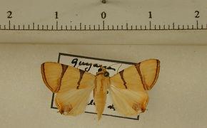 Eulepidotis perducens mâle