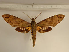 Amphonyx lucifer mâle