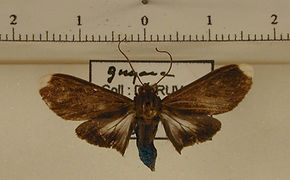 Episcepsis leneus mâle