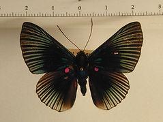 Lyropteryx apollonia apollonia mâle