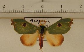 Rosema maximepunctum mâle