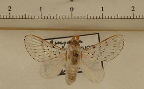 Artace cribaria mâle