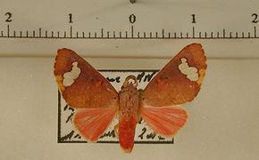 Zatrephes flavipuncta mâle
