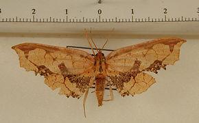 Draconia stenoptila mâle