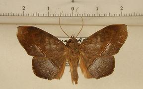 Argidia tomyris mâle