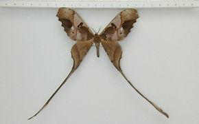 Copiopteryx jehovah mâle