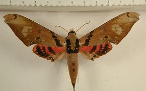 Adhemarius gannascus mâle