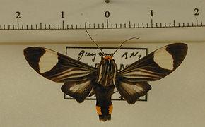 Rhipha leucoplaga mâle