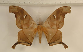 Dysdaemonia boreas mâle