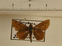 Hesperiidae p. mâle