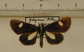 Rhosus albiceps mâle