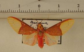 Evius albicoxae mâle