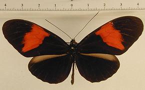 Heliconius melpomene melpomene mâle