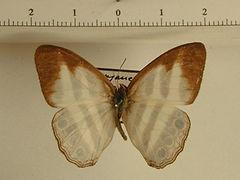 Pareuptychia ocirrhoe mâle
