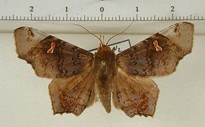 Euclystis recurva mâle