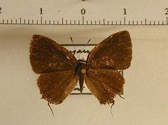 Theclinae sp6 mâle