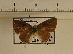 Theclinae sp4 mâle