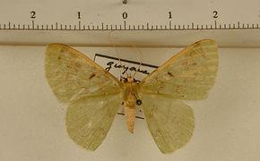 Nemoria punctilinea mâle