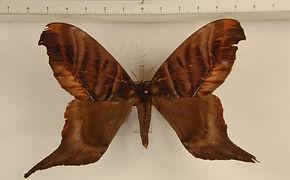 Paradaemonia gravis mâle