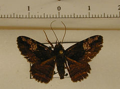 Pseudyrias sp. mâle