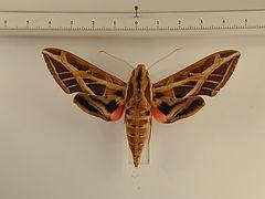 Eumorpha vitis vitis mâle