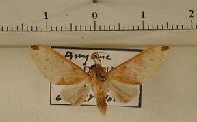 Symphlebia favillacea mâle