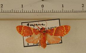 Hyponerita similis mâle