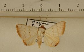 Eulepidotis alabastraria mâle