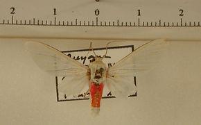 Eupsodosoma bifasciata mâle