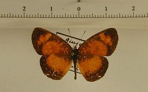 Ortilia liriope mâle