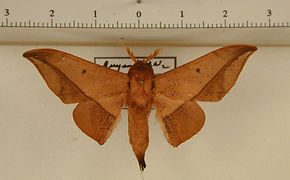 Cicinnus manalca mâle