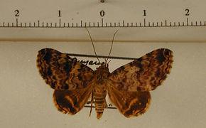 Coenipeta sp1 mâle