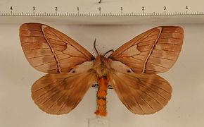 Pseudodirphia eumedide mâle