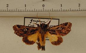 Argyrosticta vauaurea mâle