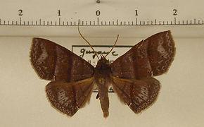 Triommatodes canidia mâle