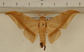 Cicinnus moengus mâle