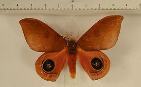 Automeris innoxia mâle