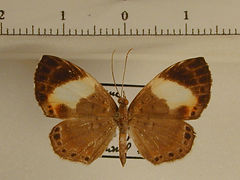 Adelotypa penthea penthea mâle