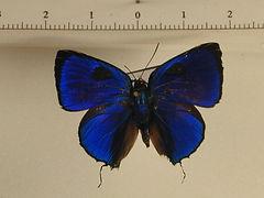 Panthiades aeolus mâle